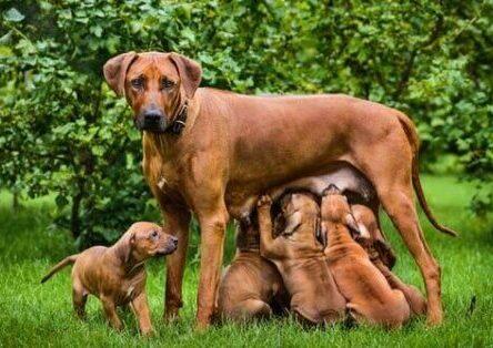köpekte Laktasyon (emzirme) döneminde besleme