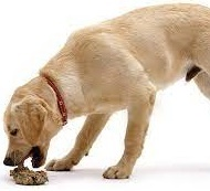 Köpeklerde Dışkı Yeme