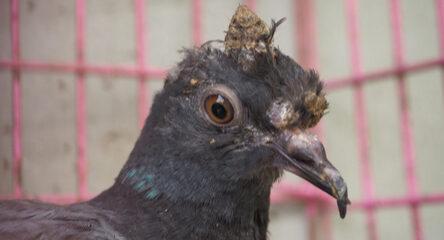 Evcil Kuşlarda Çiçek Hastalığı