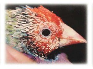Evcil Kuşlarda Hipotiroid Hastalığı