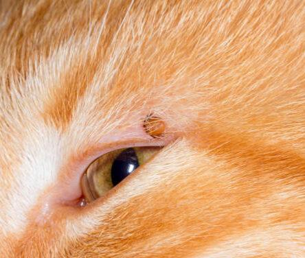 Kedilerde Lyme (Borreliosis) Hastalığı