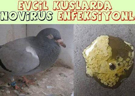 Evcil Kuşlarda Adenovirus Enfeksiyonları