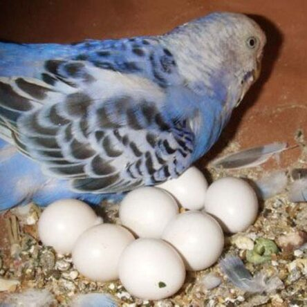 Evcil Kuşlarda Yumurtlama Güçlüğü