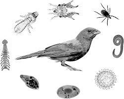 Evcil Kuşlarda Sık Rastlanan Parazitler