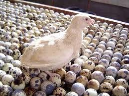 Evcil Kuşlarda Aşırı veya Kronik Yumurtlama