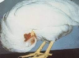 Evcil Kuşlarda Paramyxovirus Enfeksiyonu(Yalancı veba-Newcastle)