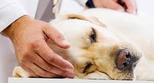 Kedi ve Köpeklerde Ağrılı Hastalık Pankreatitis