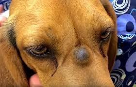 Köpeklerde Sebasöz Kistler