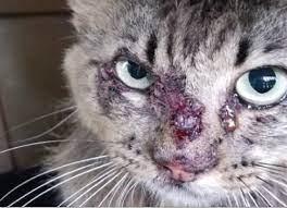 Kedilerde Derinin Mantar (Sporotrichosis) Hastalığı