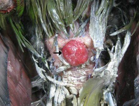 Evcil Kuşlarda Papillomatosis Enfeksiyonu