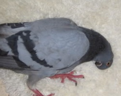 Güvercinlerde Sallabaş Hastalığı – Opistotonus