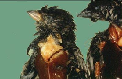 Kuşlarda Salmonella Enfeksiyonu