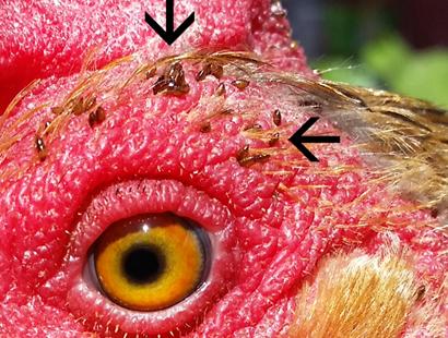 Evcil Kuşlarda Ayak ve Yüz Akarı Enfestinasyonu – Knemidocoptiasis